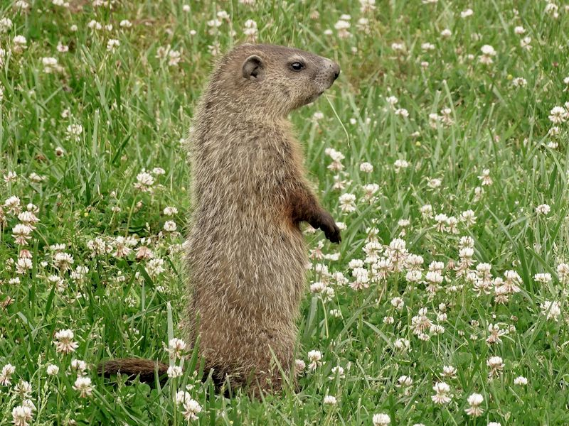 Groundhog Stunt